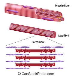 골격, 근육, 구조, 섬유