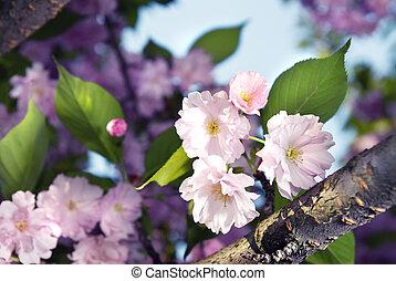 꽃, 봄, 제왕의, 벗나무