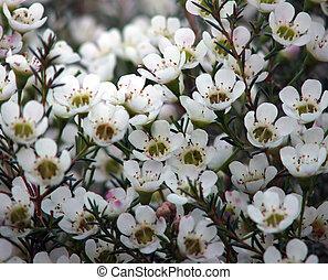 꽃, -, geraldton, 왁스