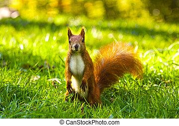 도시, 먹다, 다람쥐, 견과, 공원, 보통의, 빨강