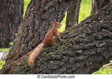 도시, 빨간 다람쥐, 공원, 나무, 푹신한, 간선
