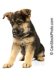 독일어, 개, shepard