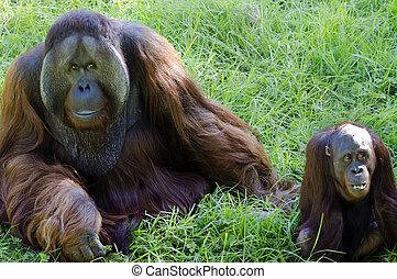 동물, 야생 생물, -, 오랑우탄