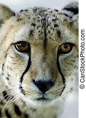 동물, 야생 생물, -, 치타