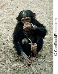 동물, 침팬지, -