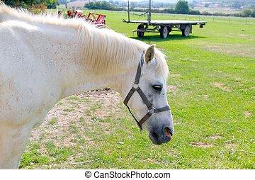 말, 옥외, rpofile, 목초지, 초상, 백색