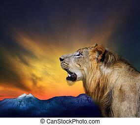 머리 탄, 노호, 위로향하여, 나이 적은 편의, 사자, 끝내다, 보이는 상태, 쪽, beautifu
