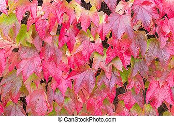 보스턴, 잎, 담쟁이 덩굴, 빨강, 가을