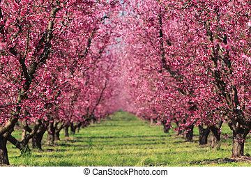 봄, 과수원, 버찌