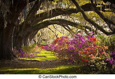 봄, 스페인어, 오크, 나무, 농원, 살고 있다, 진달래, 이끼, 꽃 같은, sc, 찰스턴, 꽃, 은 개화한다