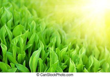 빛나다, 봄, 햇빛, 녹색, 신선한, 풀