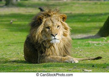 사자, 남성, african