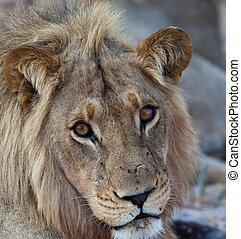 사자, 탄자니아, 공원, 한 나라를 상징하는