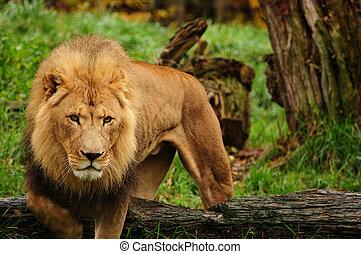 사자, african