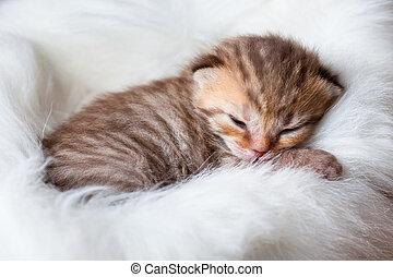 새로 태어난 아기, 잠, british, 고양이