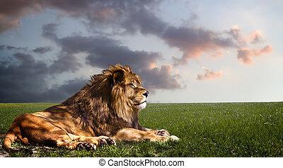 쉬는 것, 사자, 권력이 있는, sunset.