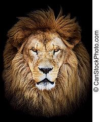 아름다운, 거대한, 향하여, 사자, 검은 배경, african, 초상, 남성
