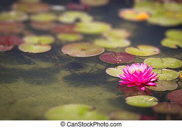 아름다운, 분홍색의 꽃, 연, 연못 백합