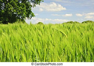 아름다운, 파랑, 생생한, 나무, 심상, 오크, 들판, 단일, 배경, 성장하는, 농업의, 옥수수, 하늘