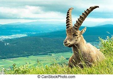 야생의, 산, (goat), 동물, 향하여