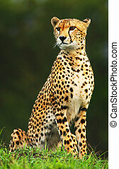 야생의, 치타, african