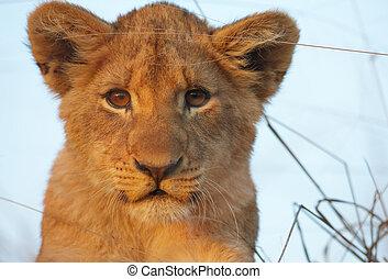 야수의 새끼, 상세한 묘사, leo), (panthera, 사자