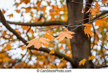 잎, 얕은, 배경, 단풍나무, 초점, 가을
