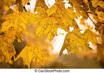 잎, 얕은 초점, 가을, 배경, 단풍나무