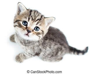 정상, 고양이, 배경, 고양이 새끼, 아기, 백색, 보이는 상태