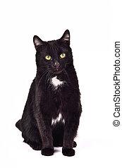 착석, 향하여, 고양이, 검은 배경, 백색