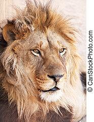 초상, 머리, 사자, 동물