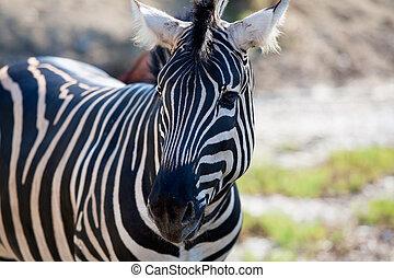 초상, 수평이다, african, zebra, 보이는 상태