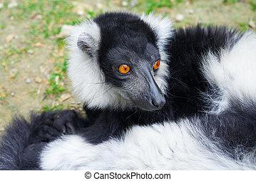 초상, 여우원숭이, 마다가스카르, ruffed