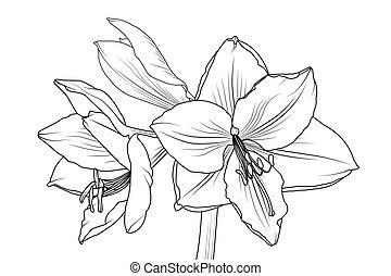 클로우즈업, 모듬 명령, lilly의, 보이는 상태, 아마릴리스, hippeastrum