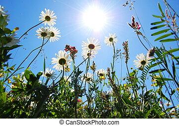 파랑, 여름, 꽃, 하늘, 데이지