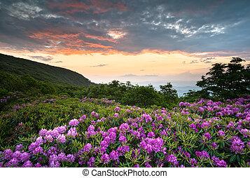 푸른 산, 만병초, 이랑, 무대의, 봄, 위의, nc, 일몰, asheville, appalachians, 공원도로, 꽃, 은 개화한다