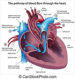 흐름, 완전히, 피, 심장