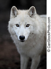 arctos), 극지, lupus, 또는, 이것, (canis, 극한의, -, 상세한 묘사, 약탈자, 아름다운, 늑대, 초상, 백색, aka