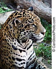 headshot, jaguar.