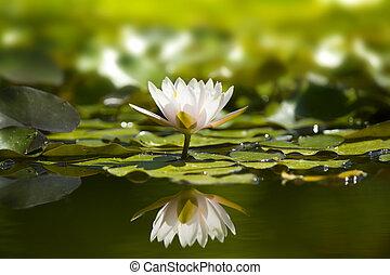 pond., waterlily의, 자연, 백색
