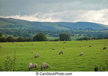 sheep, 시골, 은 수비를 맡는다, 언덕, grazing., 웨일스