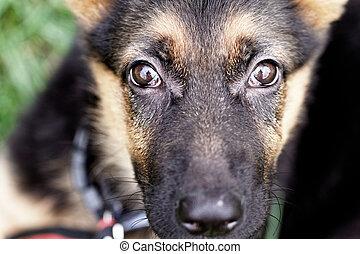 shepard, 개, 독일어