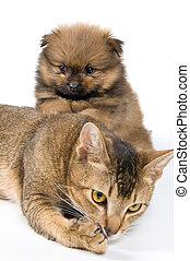 spitz-dog, 강아지, 고양이 새끼