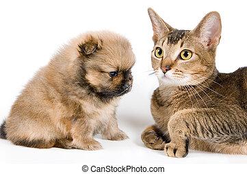 spitz-dog, 강아지, 고양이