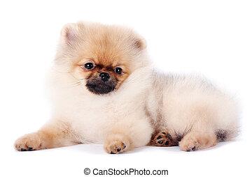 spitz-dog, 강아지