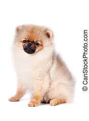 spitz-dog, 바구니, 강아지