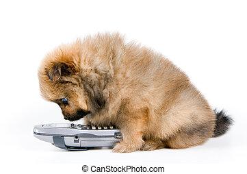 spitz-dog, 전화, 강아지