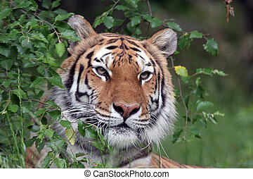 tiger, 초상, siberian